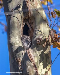 Screech Owl Lakewood 0012