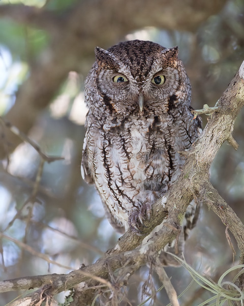 Here is a shot of Momma Screech Owl. We were sitting on the other side of the drive way when she flew over and landed just above us, posing for this shot. She then flew right over my head and landed on a tree 10 ft behind me. Moments later she dropped to the ground catching an insect and then back to feed the little ones, passing very close as she flew by. <br /> This is why I love what i do. There is just nothing cooler than just watching God's creatures. Feeling the breeze move across my face that was created by an owl flying by is priceless.