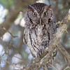 Female Adult Screech Owl