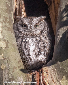 Screech Owl Lakewood 0222 revision 2