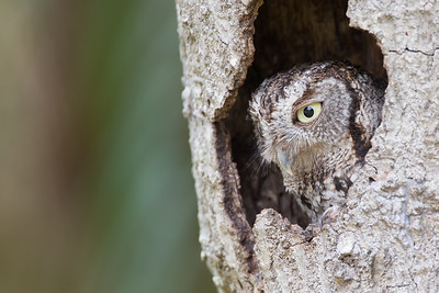 Momma screech owl (in original tree)