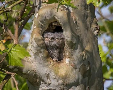 Screech Owlets_0906 B