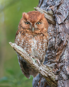 Male Eastern Screech Owl - Red Morph