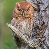 Male Eastern Screech Owl - Red Morph