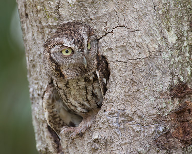 Female Screech owl