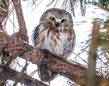 saw wet owl dike 14x11