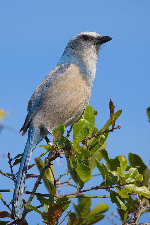 I don't remember if these two scrub jay photos are of the same bird. There were about four around me, probably wondering when I was going to produce the peanuts. But I didn't bring any because I prefer to be an observer only, and not interact with the birds and possibly change their behavior.