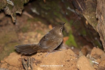 Rufous Scrubbird_David Stowe-0179