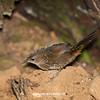 Rufous Scrubbird_David Stowe-0180