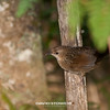 Rufous Scrubbird_David Stowe-0188