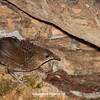 Rufous Scrubbird_David Stowe-0183