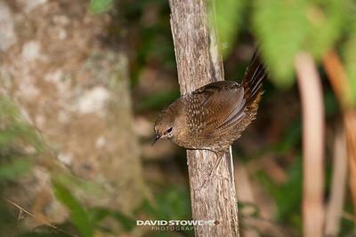 Rufous Scrubbird_David Stowe-0195