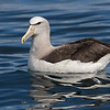 Salvin's Albatross  - Kaikoura NZ