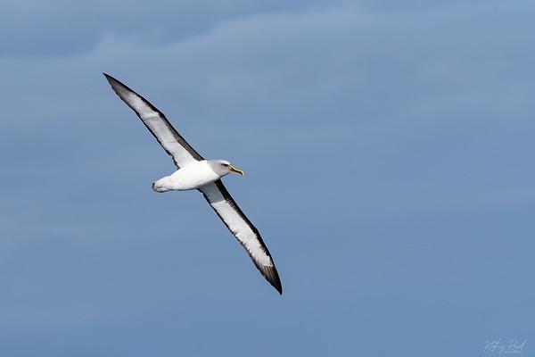 Bullers Albatross, Kaikoura