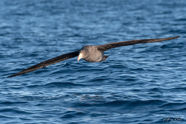 Gaint-Northern Petrel