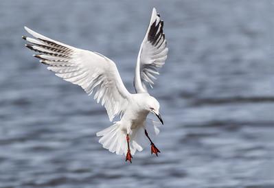 Black-billed Gull  - Tarapuka  #3