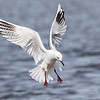 Black-billed Gull  - Tarapuka