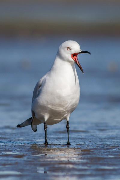 Black-billed Gull  #2
