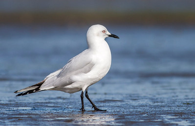 Black-billed Gull  #1