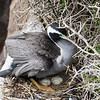 Spotted Shag at the nest with 2 eggs