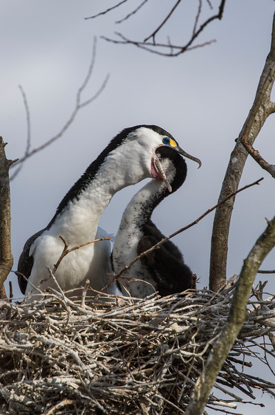 Pied Shag feeding young
