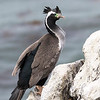 Adult Spotted Shag in breeding plumage