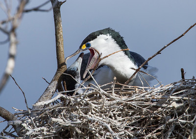 Adult Pied Shag feeding young