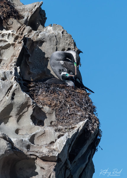 Spotted Shags nesting