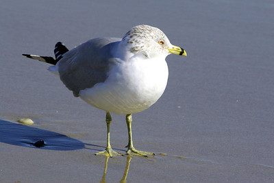 Sea Gulls in the Winter