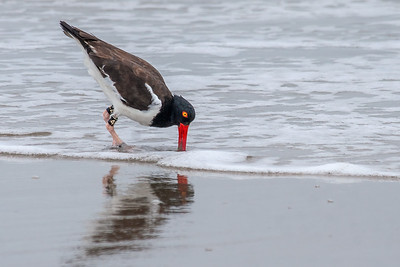 Banded American Oystercatcher Foraging