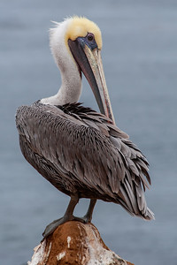 Preening Brown Pelican