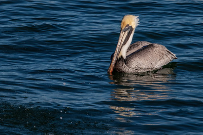 Swimming Brown Pelican