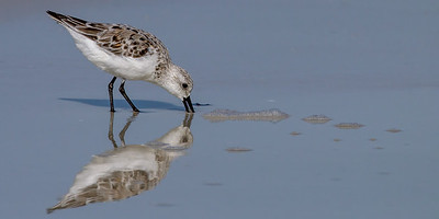 Sanderling and Reflection