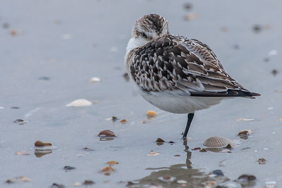 Napping Sanderling