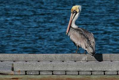 Brown Pelican on Jetty