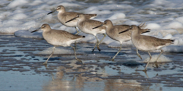 Willets on Parade