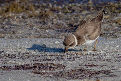 Semipalmated Plover Foraging