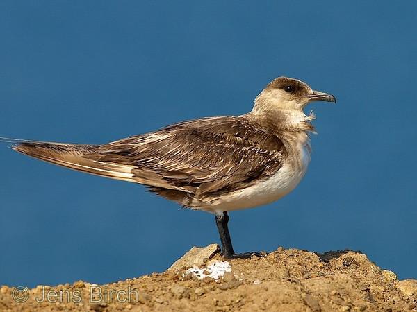 Non-Nordic Sea-birds