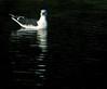<b>Great black-backed gull</b> (<i>Larus marinus</i>), Havstrut, Tjärö. Copyright Jens Birch