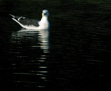Great black-backed gull (Larus marinus), Havstrut, Tjärö. Copyright Jens Birch