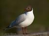 <b>Black-headed gull</b> (<i>Larus ridibundus</i>), Skrattmås, Smedstads dammar. Copyright Jens Birch