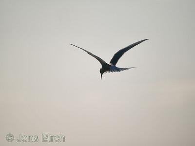 Common tern (Sterna hirundo), Fisktärna, Lake Roxen. Copyright Jens Birch