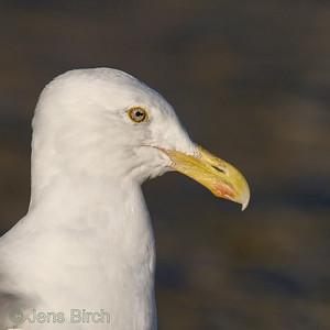 Herring gull (Larus argentatus), Gråtrut,Christiansø. Copyright Jens Birch