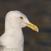 <b>Herring gull</b> (<i>Larus argentatus</i>), Gråtrut,Christiansø. Copyright Jens Birch
