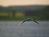 <b>Common tern</b> (<i>Sterna hirundo</i>), Fisktärna, Lake Roxen. Copyright Jens Birch