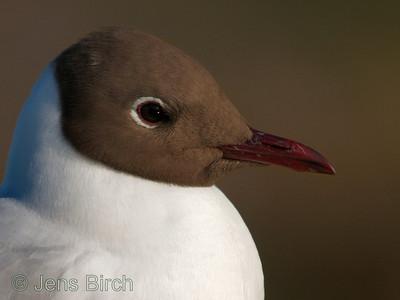Black-headed gull (Larus ridibundus), Skrattmås, Smedstads dammar. Copyright Jens Birch