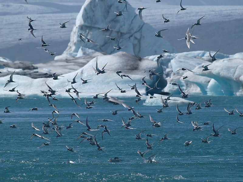 Feeding frenzy among <b>Arctic terns</b> (<i>Sterna paradisae</i>) in front of the icebergs in Jökulsarlon.  Copyright Jens Birch