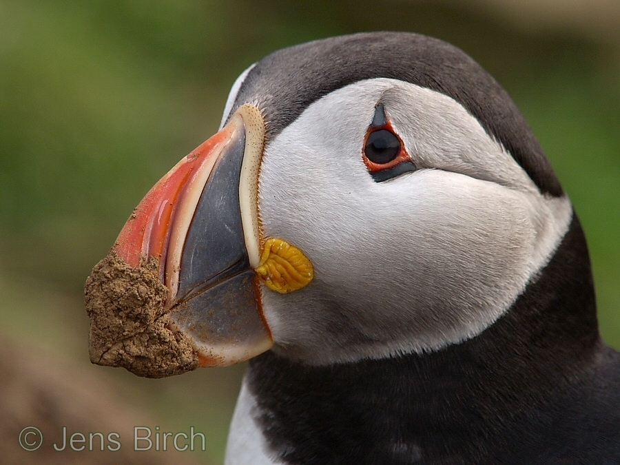 The big and beautiful beak of the puffin is not only used forf display and fishing but also to dig their burrough. This bird just emerged from its nest to greet its mate when coming in from the sea.<br /> <br /> Copyright Jens Birch