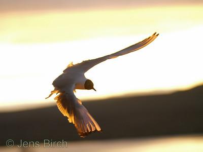 Black-headed gull (Larus ridibundus) (Skrattmås) against the midnight sun, July 2008, Myvatn, Iceland