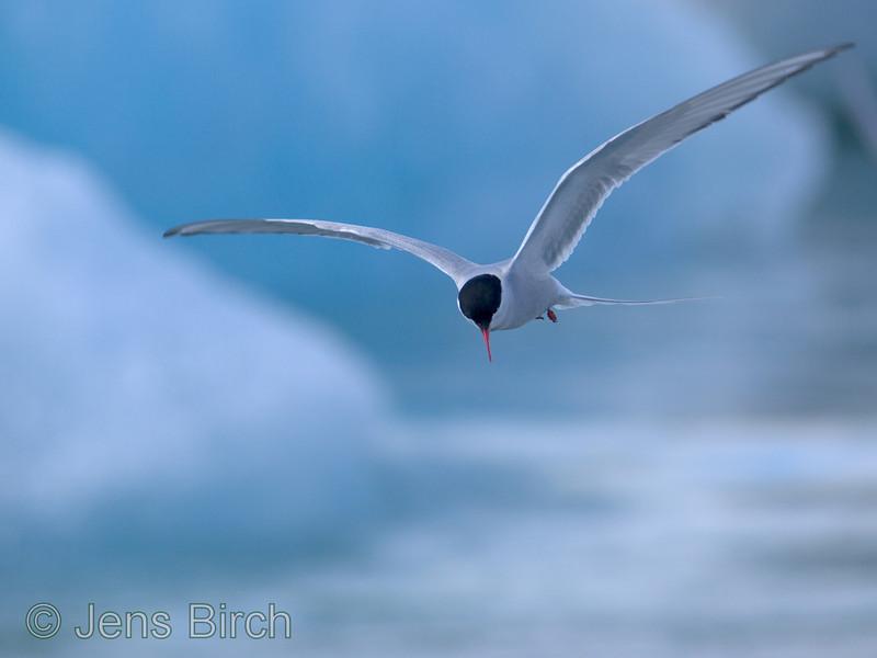 <b>Arctic tern</b> (<i>Sterna paradisae</i>) fishing among icebergs in Jökulsarlon.